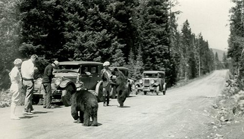 People feeding bears alongside road, Yellowstone National Park