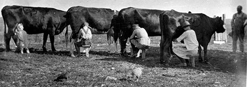 Family of four each milking a cow