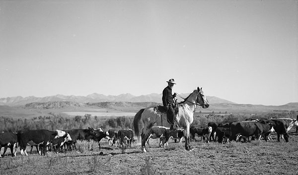 A. W. Chadbourne astride his horse, watching his herd of cattle.